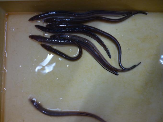 ジジイのアナゴ釣り