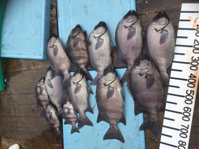 石鯛いっぱい釣れました!