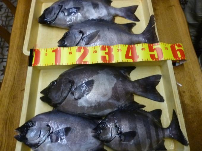 伊良湖沖で石鯛!