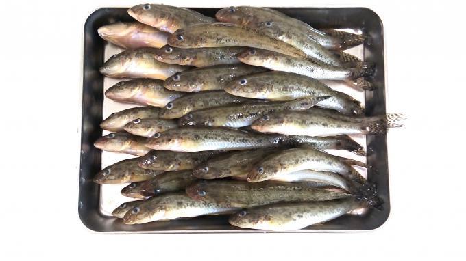 日長川でハゼ釣り