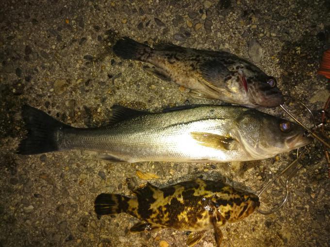 シーバス、根魚