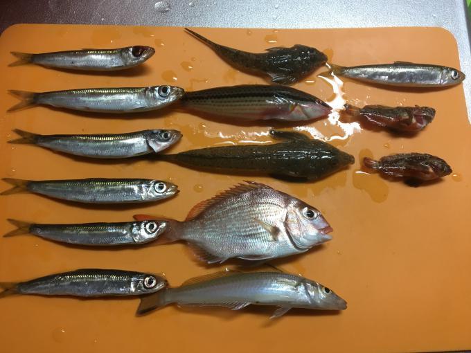 豊浜漁港釣果