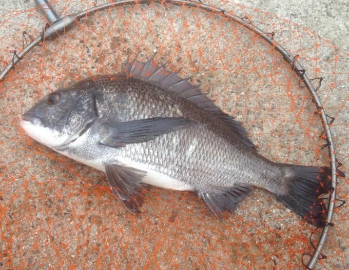 チヌ釣り(マリンパ)1