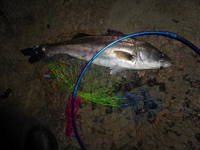 夜釣りでマダカ