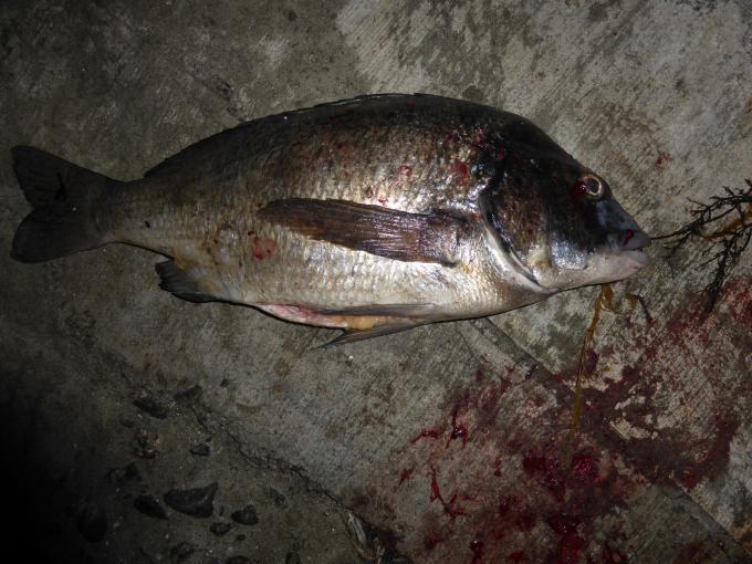 夜釣りの投げでクロダイ